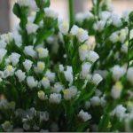 Hướng dẫn làm hoa salem bằng giấy đơn giản